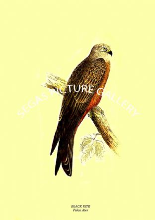 Black Kite - Falco Ater